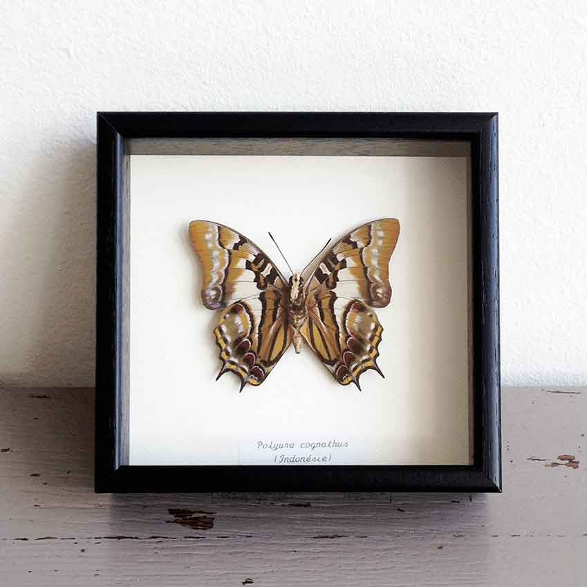 'Polyura Cognathus' framed butterfly, £69 (otherist.com)